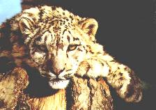 The Wild Cats - The Exquisite Snow Leopard