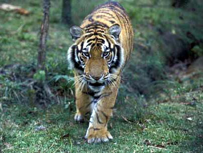 South China Tiger, believed to be the direct descendant of the earliest tigers