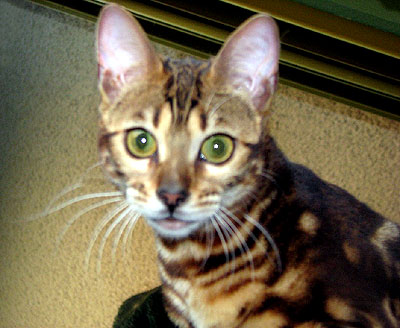Beautiful marbled SBT Bengal kitten Foothill Felines North Star, daughter of Foothill Felines My 