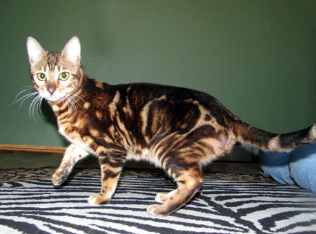 Foothill Felines North Star has a very wild appearance, with black shaded rosetted marbling, glitter, clear coat, and 