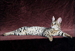 Beautiful Sunny Spots at 7 months - our second Savannah here!! She's a gorgeous Savannah and her ancestor is a full African Serval!!