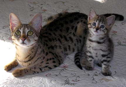 Foothill Felines Scampurr Spots, F3 Savannah show cat and Sunny Spots her F2 Savannah mother