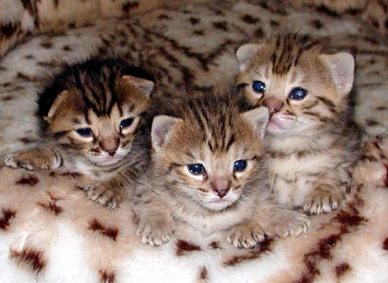 Adorable Foothill Felines Savannah kittens at 2 weeks old!!