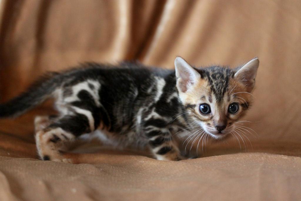 Wild asian cat - 4 1