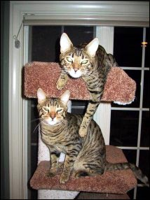 Teazer and Tugger on their cat tree!