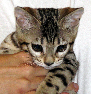 Bengal Kitten from Foothill Felines - this is our Teacup as a young kitten!
