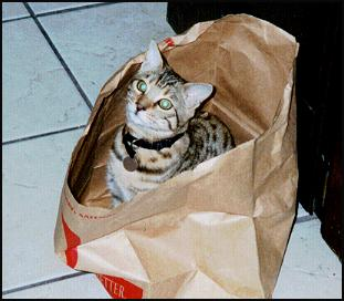 Bag Kitty -- Foothill Felines Thor, spotted SBT Bengal male from Foothill Felines!