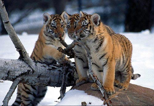photos of animal tigers cub youtube