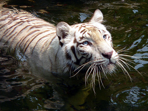 The White Tigers are beautiful but are virtually extinct in the wild and desperately need our conservation support and help.