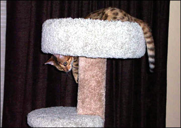 Foothill Felines Tiggy, a gorgeous leopard spotted SBT Bengal female of very high quality!