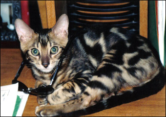 5 month old bengal cat