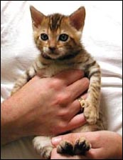 Cute glittered, spotted male Bengal kitten at 3 weeks old!