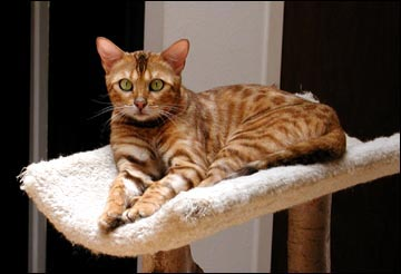 Our lovely new Bengal breeding queen, Starbengal Vida Mia of Foothill Felines!