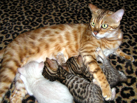 Vida Mia of Foothill Felines with her Bengal kitten litter