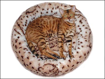Starbengal Vida Mia of Foothill Felines is a spectacular Bengal - here is her TICA pedigree!