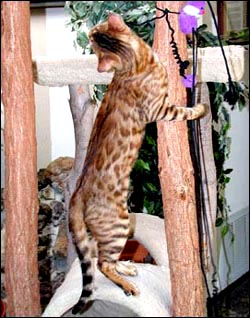 Starbengal Vida Mia of Foothill Felines has a whited tummy, beautiful contrast, rosettes, clear coat and glitter!