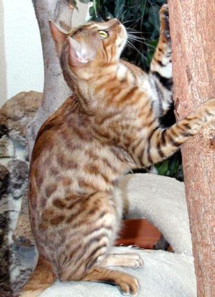 vida mia of foothill felines climbing her cat tree