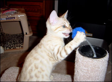 Foothill Felines Yukiko of Hampton, busy at play!!