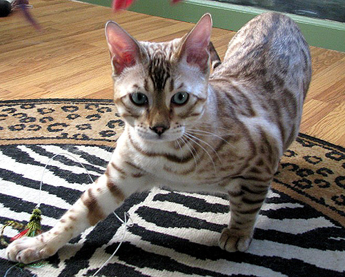 White Bengal Cat With Blue Eyes