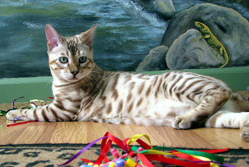 Handsome rosetted seal mink snow Bengal male at 5 months old!