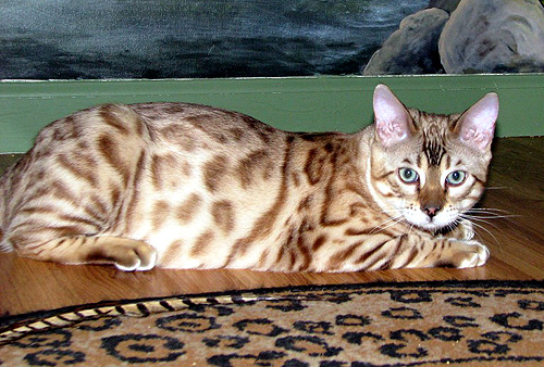 Hampton Yukon of Foothill Felines, at 5 months old, a gorgeous seal mink rosetted snow Bengal male stud for breeding.