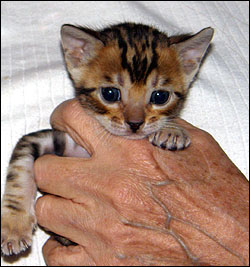 Bengal kittens from Foothill Felines, respected CA breeder
