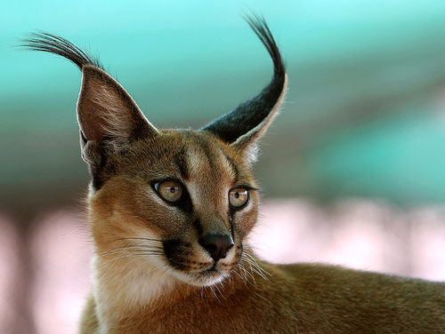 The Caracal Cat Beautiful Big Wild Cat Photograph Brought To You By Hdw Enterprises Foothill Felines Breeder Of Exotic Bengal Cats