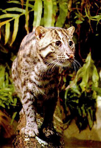 The Fishing Cat Beautiful Big Wild Cat Photograph From