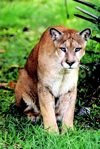 The Endangered Florida Panther Beautiful Big Wild Cat Picture From Hdw Enterprises Foothill Felines Breeder Of Exotic Bengal Cats