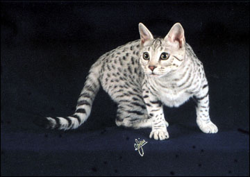 Savannah Cats from Foothill Felines: Black Spotted Cats and