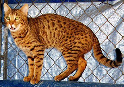 Cheetah Cat For Sale California