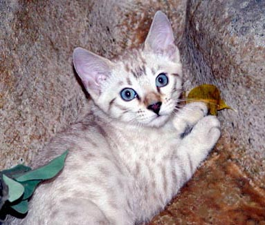 Bengal Cats: Color Genetics of Cats, Dilute and Solid Color Genetics