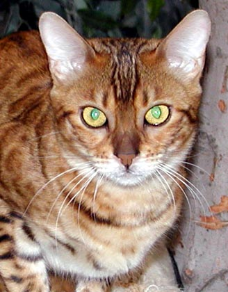 Bengal Cats: The TICA Bengal Breed Standard from HDW and