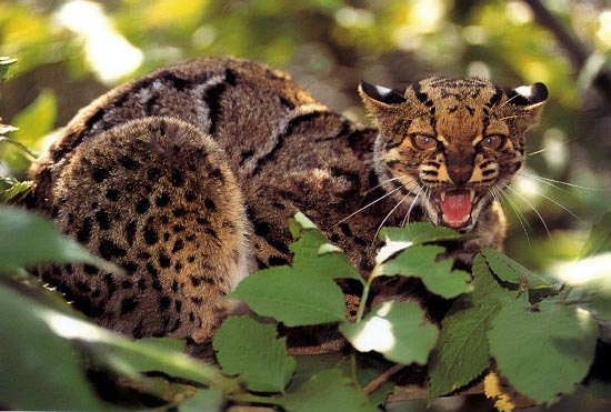 The Marbled Cat Beautiful Big Rare Spotted Wild Cat