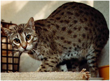 Bengal Cats (bred from the wild Asian Leopard Cat) that look