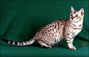 Bengal Cats Colors And Patterns Of The Bengal Cat