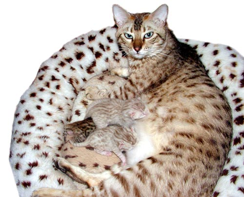 979d3488e1 Beautiful seal mink spotted rosetted snow Bengal queen Foothill Felines  Mochamelo with aqua eyes