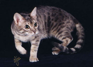 Bengal Cats Color Genetics Of Cats Dilute And Solid Color Genetics
