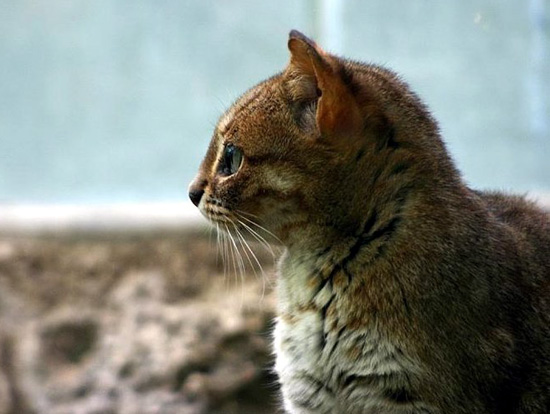 The Rusty Spotted Cat Beautiful Big Rare Spotted Wild