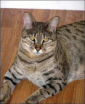Bengal Cat Breeder Foothill Felines Presents Cats