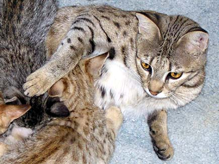 Bengal and Savannah Kittens in Beautiful On-Line Photo