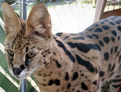 Serval Cats Beautiful Big Wild Serval Cat Photograph