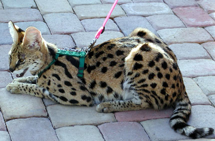 Savannah Cats From Foothill Felines Black Spotted Cats And Kittens With Serval Coloring Great Personalities From This Specialized Breeder Of Exotic Savannahs