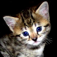Serval Cats: EVERYTHING You Want to Know from HDW and