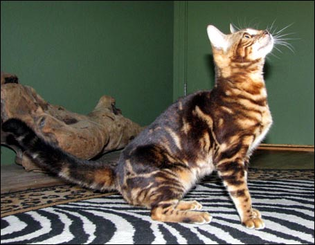 Bengal Kittens Seal Mink Snow Spotted Father And Tri