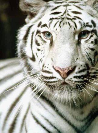 The White Tiger Beautiful Big Wild Cat Photographs